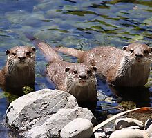 three otters waiting for food by steve37
