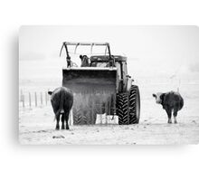 Feeding cows Canvas Print