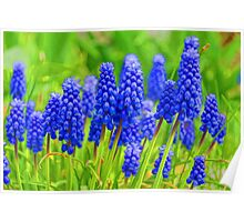 Muscari - Impressions Of Spring Poster