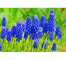 Muscari - Impressions Of Spring Photographic Print