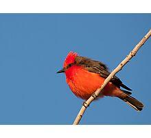 Vermillion Flycatcher Photographic Print