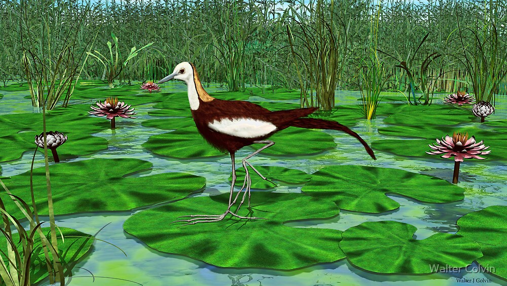 Pheasant Tailed Jacana by Walter Colvin