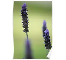 Lavender stalks Poster