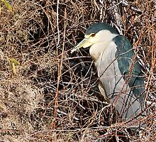 Black Crowned Night Heron (cropped) by WiredMarys