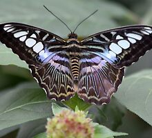 Butterfly  by DutchLumix