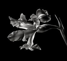 Iris in Black And White by Endre