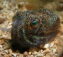 Southern Dumpling Squid by Carolien Mermans
