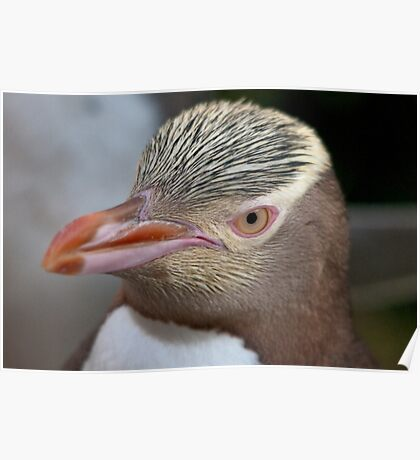 Adult Yellow-eyed Penguin Poster