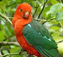 Aussie King Parrot Untouched by Margaret Stockdale