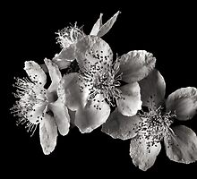 Blackberry Flowers in Black and White by Endre