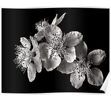 Blackberry Flowers in Black and White Poster
