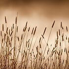 Golden Reeds at The Mother of Ducks Lagoon by Clare Colins