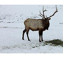 Elk in Winter ~ Hardware Ranch, Utah Photographic Print