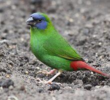 Blue-faced Parrot-finch by DutchLumix