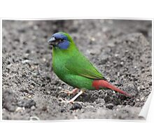 Blue-faced Parrot-finch Poster