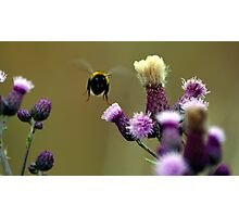 Flight of the bumble bee. Photographic Print