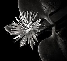Little Ice Plant in Black and White by Endre