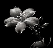 Spicy Jatropha in Black and White by Endre