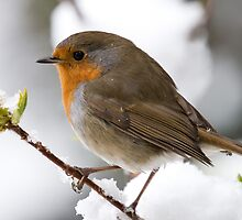 Robin in the Snow by Eddie Howland