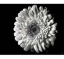 Gerber Daisy in Black and White Photographic Print