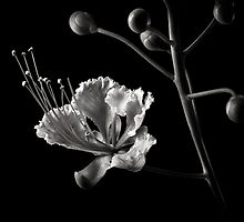 Red Bird Of Paradise in Black and White by Endre