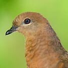 Brown Cuckoo Dove portrait by Henry  Cook