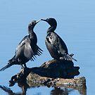 Cormorant Love by byronbackyard