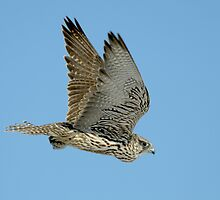 Gyrfalcon in Flight by Ron Kube