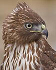 Red-tailed Hawk Portrait by Kathleen  Bowman