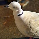 Collared Dove by Ruth Lambert