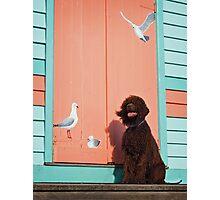 Irish Water Spaniel - Bird Dog Photographic Print