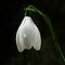Lonely Snowdrop by Susie Peek