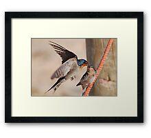 Welcome Swallows Monkey Mia Western Australia Framed Print