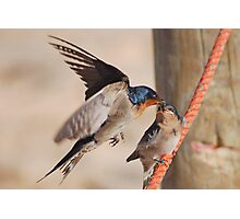 Welcome Swallows Monkey Mia Western Australia Photographic Print