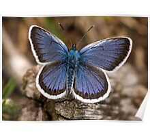 Silver-studded Blue Butterfly (Plebius argus) Poster