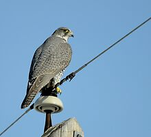Gyrfalcon by Ron Kube
