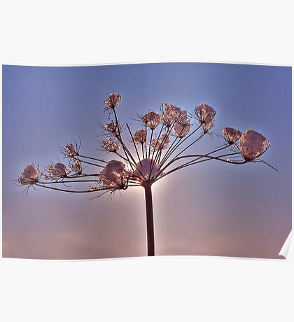 Snowy Cow Parsley Poster