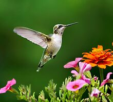 Hummingbird Flying with Colorful Flowers by Christina Rollo