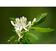 White Honeysuckle Flowers Photographic Print