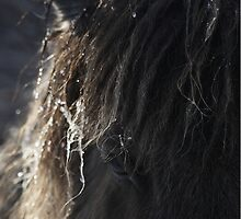 Shetland Pony by Frances Taylor