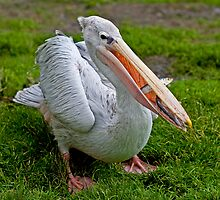 A Wonderful Bird is the Pelican... by HelenBeresford