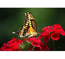 Giant Swallowtail Butterfly Photographic Print