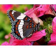 White Admiral Butterfly Photographic Print