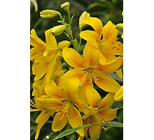 "Asiatic Lily ""Garden Treasure"" Photographic Print"