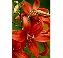 "Asiatic Lily ""Red Tiger"" Photographic Print"