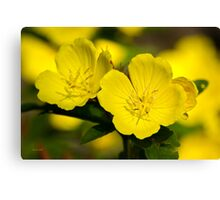Yellow Primrose Flowers Canvas Print