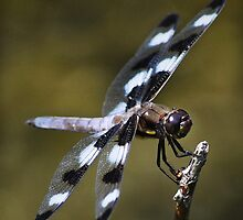 Twelve-spotted Skimmer by Laurie Minor