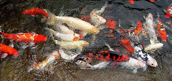 Koi at Houston Zoo by May Lattanzio