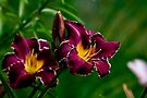 "Daylily ""Thundering Ovation"" by Michael Cummings"