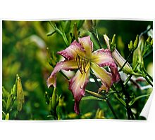 "Daylily ""North Wind Dancer"" Poster"